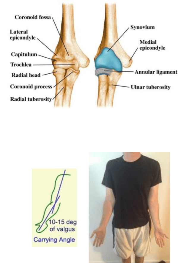 Phty207 Lecture Notes Spring 2018 Lecture 13 Ulnar Collateral