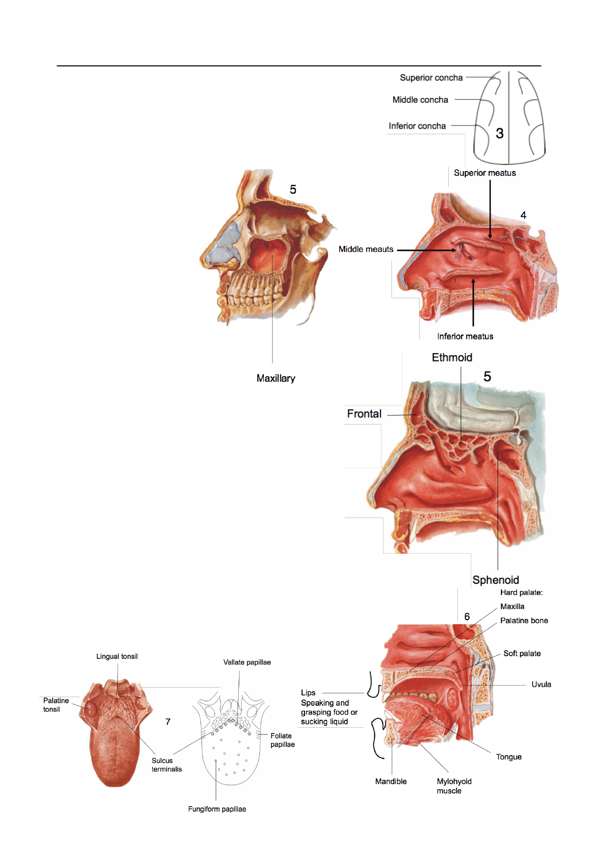 ANAT20006 Lecture Notes - Winter 2017, Lecture 22 - Nasal ... Inferior Meatus Function