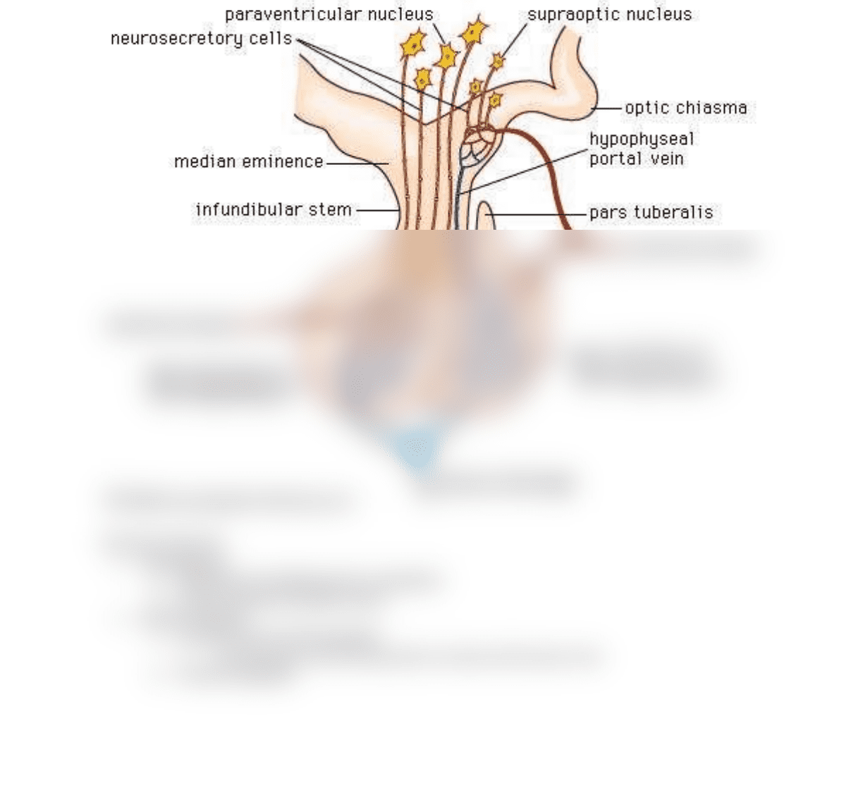 Py 105 Textbook Notes Spring 2018 Chapter 3 Pituitary Gland