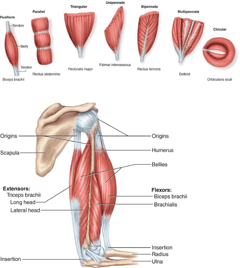 Biol 1050h Study Guide Fall 2017 Final Triceps Brachii Muscle
