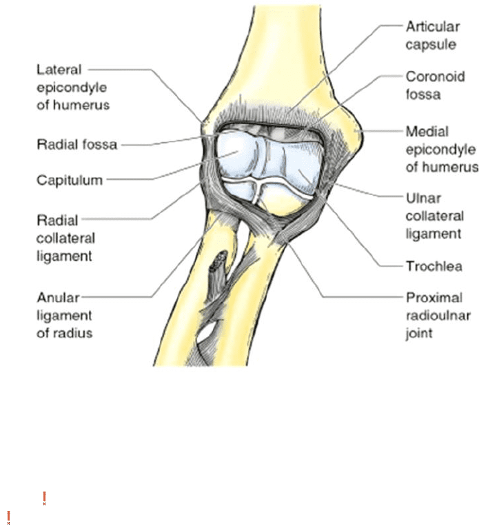 Anat30007 Lecture 17 H191 Notes Joints Of The Elbow Oneclass